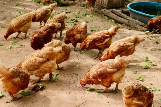In meatspace, chicken is a type of vegetable